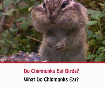 Do Chipmunks Eat Birds?