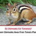 Do Chipmunks Eat Tomatoes