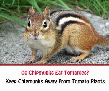 Do Chipmunks Eat Tomatoes?
