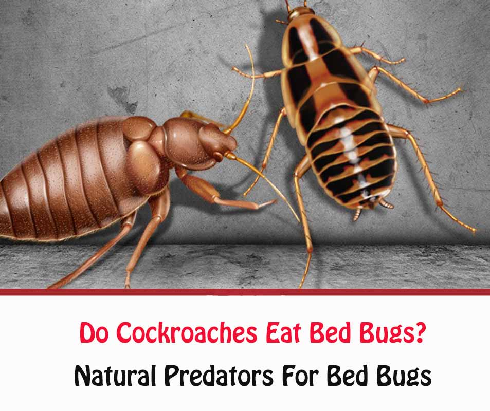 Do Cockroaches Eat Bed Bugs?