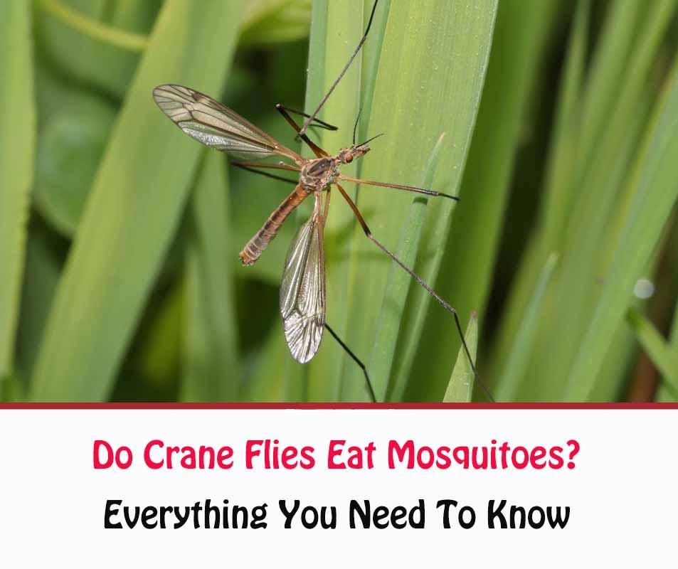Do Crane Flies Eat Mosquitoes?