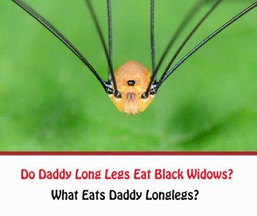 Do Daddy Long Legs Eat Black Widows?