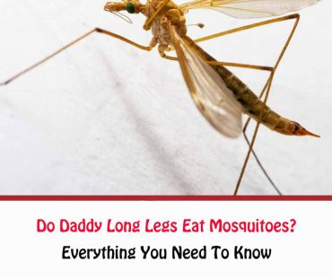 Do Daddy Long Legs Eat Mosquitoes?