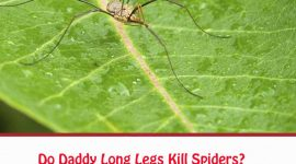 Do Daddy Long Legs Kill Spiders?