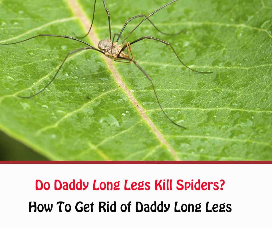 Do Daddy Long Legs Kill Spiders?