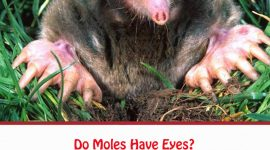 Do Moles Have Eyes?
