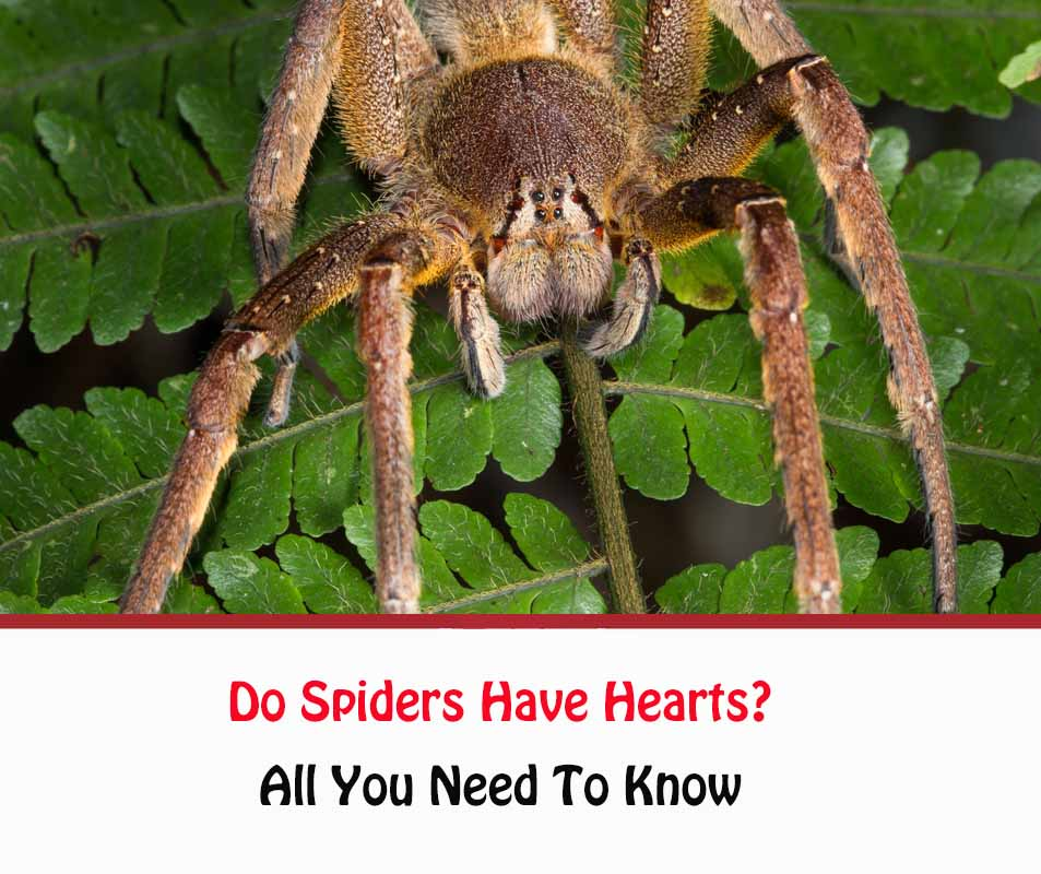 Do Spiders Have Hearts?