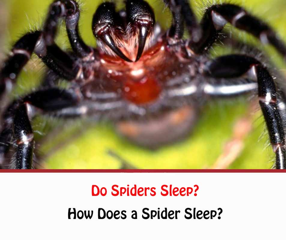 Do Spiders Sleep?