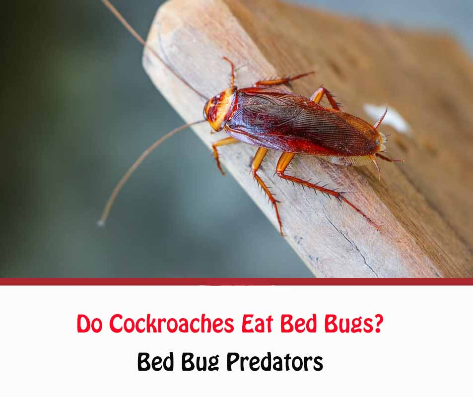 Do roaches eat bed bugs?