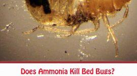 Does Ammonia Kill Bed Bugs?