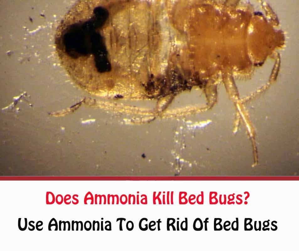 Does Ammonia Kill Bed Bugs Getridofallthings Com