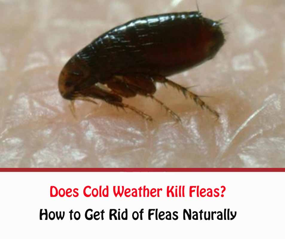 Does Cold Weather Kill Fleas?