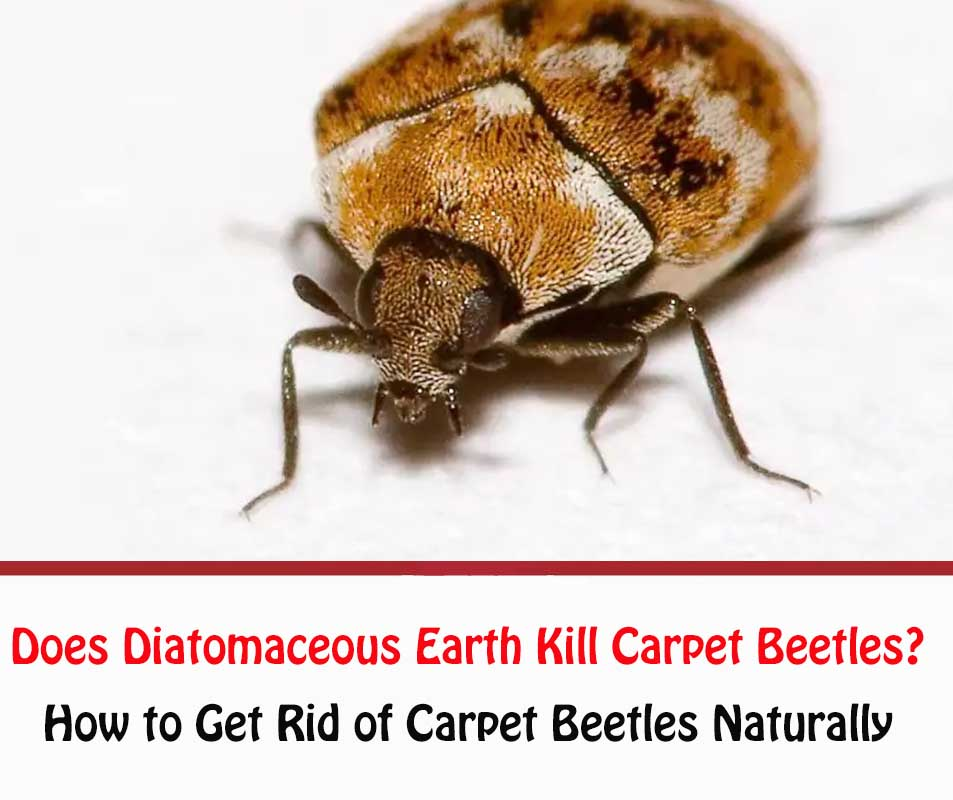 Does Diatomaceous Earth Kill Carpet Beetles?