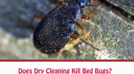 Does Dry Cleaning Kill Bed Bugs?