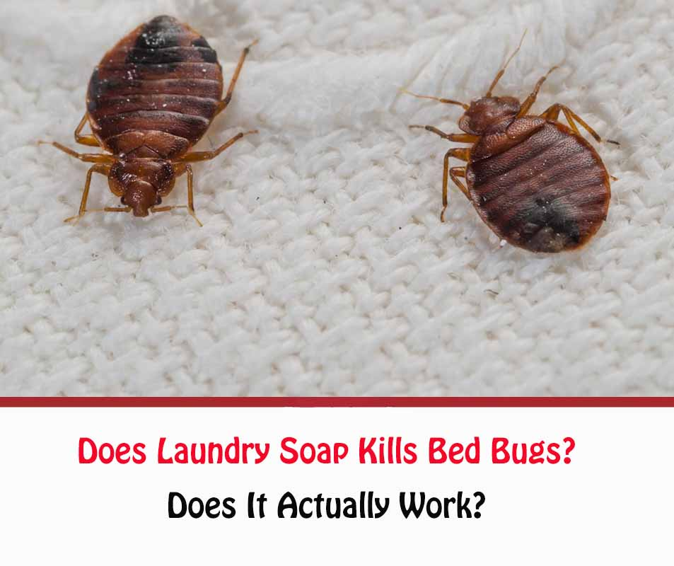Does Laundry Soap Kills Bed Bugs?