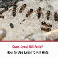 Does Lysol Kill Ants?