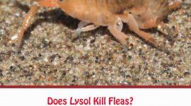 Does Lysol Kill Fleas?