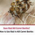 Does Raid Kill Carpet Beetles?