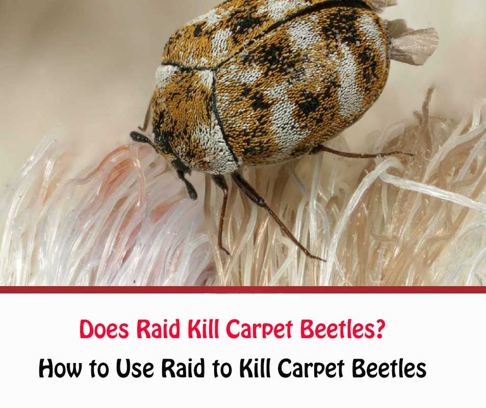 Does Raid Kill Carpet Beetles?