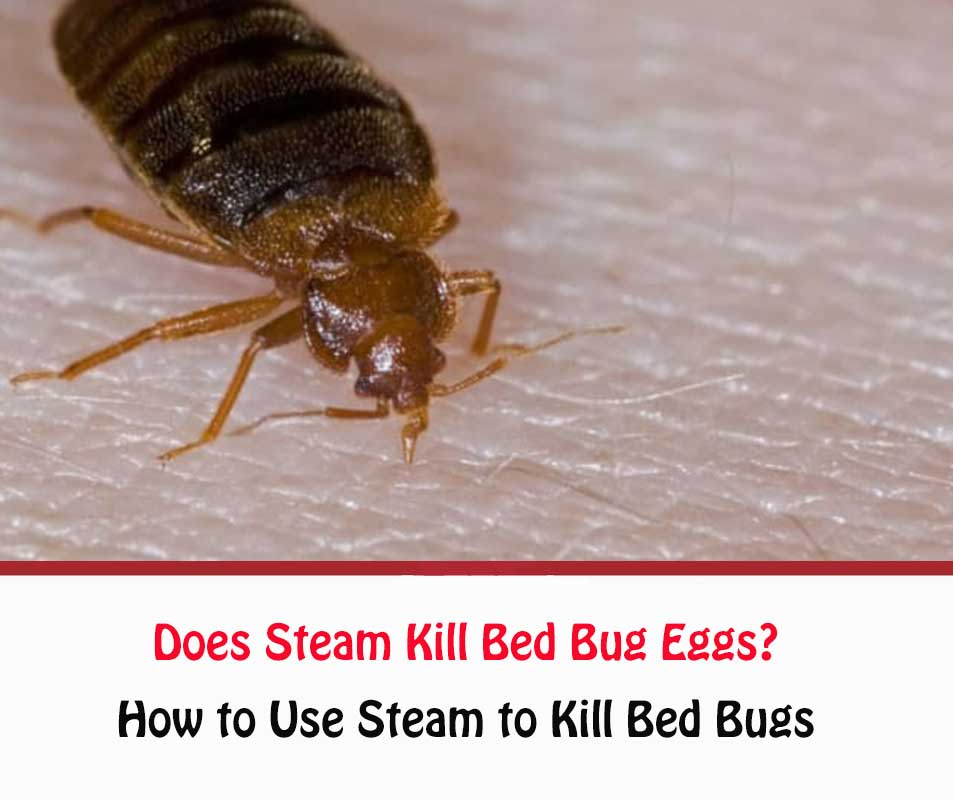 Does Steam Kill Bed Bug Eggs?