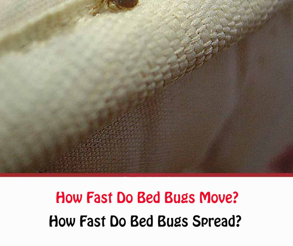 How Fast Do Bed Bugs Move?