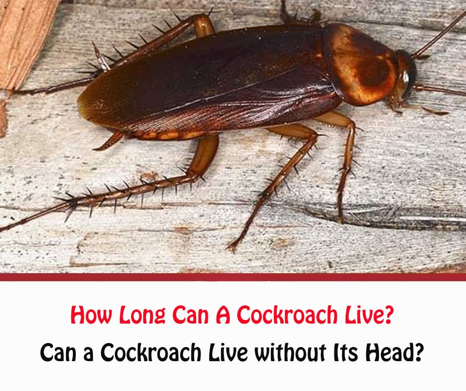 Can a Cockroach Live without Its Head?