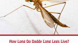 How Long Do Daddy Long Legs Live?