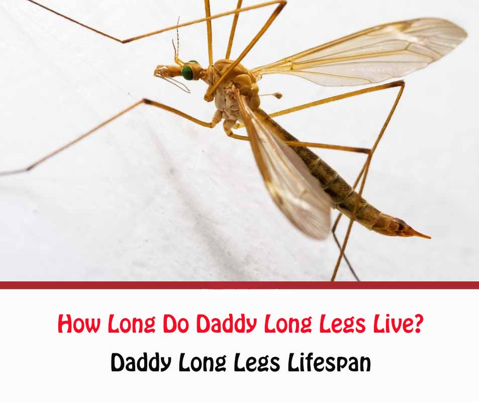 How Long Do Daddy Long Legs Live