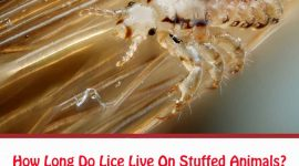 How Long Do Lice Live On Stuffed Animals?