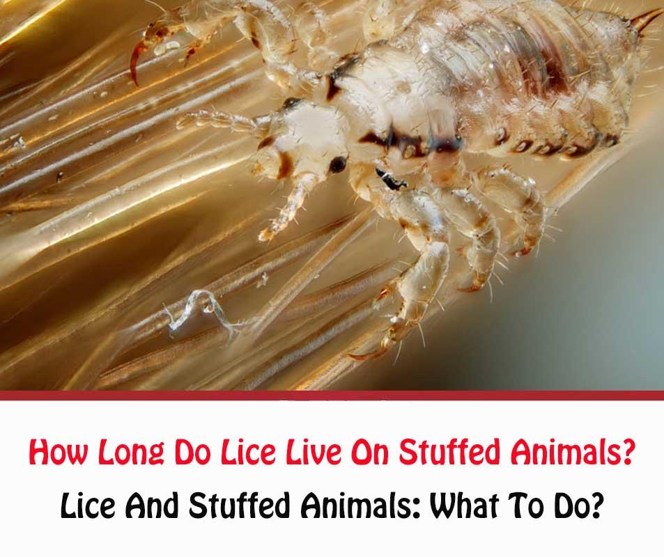 How Long Do Lice Live On Stuffed Animals?