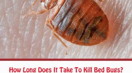 How Long Does It Take To Get Rid Of Bed Bugs?