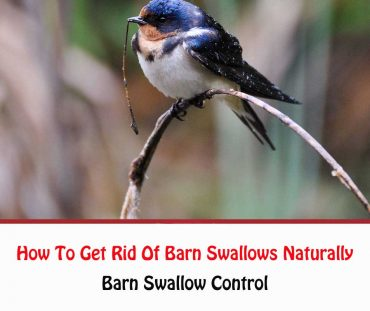 How To Get Rid Of Barn Swallows Naturally