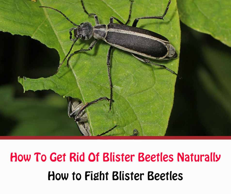 How To Get Rid Of Blister Beetles Naturally