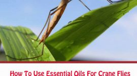 How To Get Rid Of Crane Flies With Essential Oils