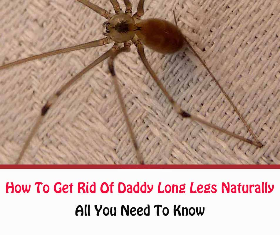 How To Get Rid Of Daddy Long Legs In Bathroom