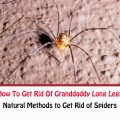 How To Get Rid Of Granddaddy Long Legs