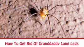 How To Get Rid Of Granddaddy Long Legs Naturally