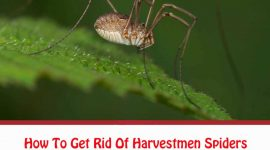 How To Get Rid Of Harvestmen Spiders Naturally