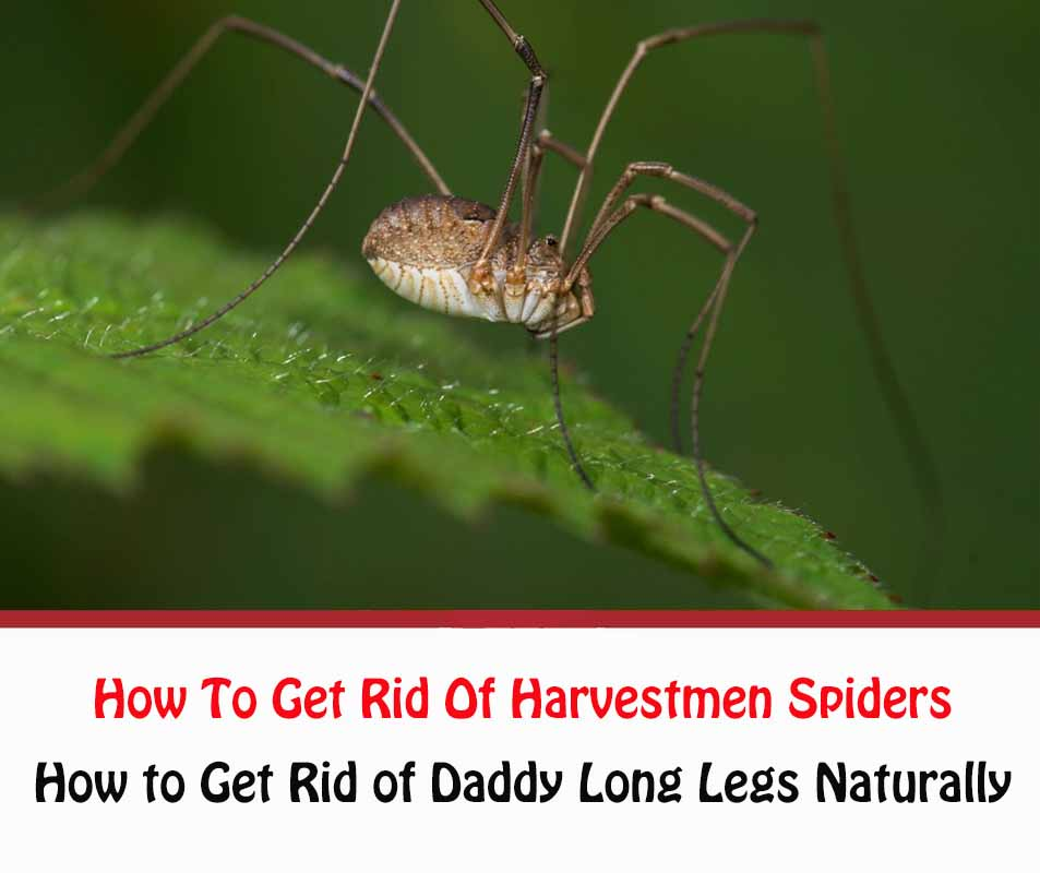 How To Get Rid Of Harvestmen Spiders