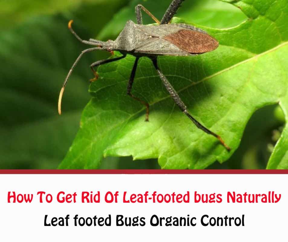 How To Get Rid Of Leaf-footed bugs Naturally