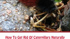 How To Get Rid Of Woolly Bear Caterpillars Naturally