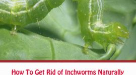 How To Get Rid of Inchworms Naturally