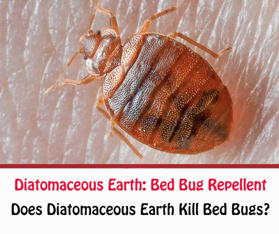 How To Use Diatomaceous Earth For Bed Bugs