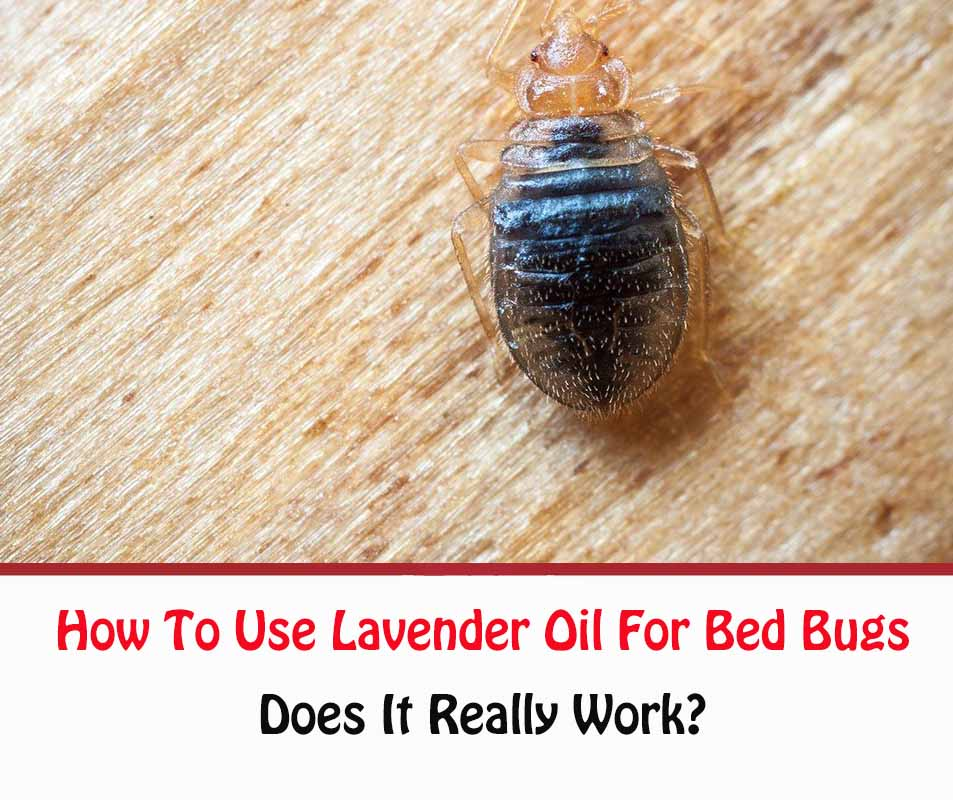 How To Use Lavender Oil For Bed Bugs
