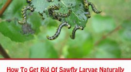 Sawfly Larvae Control: Natural Ways To Kill Sawfly Larvae Naturally