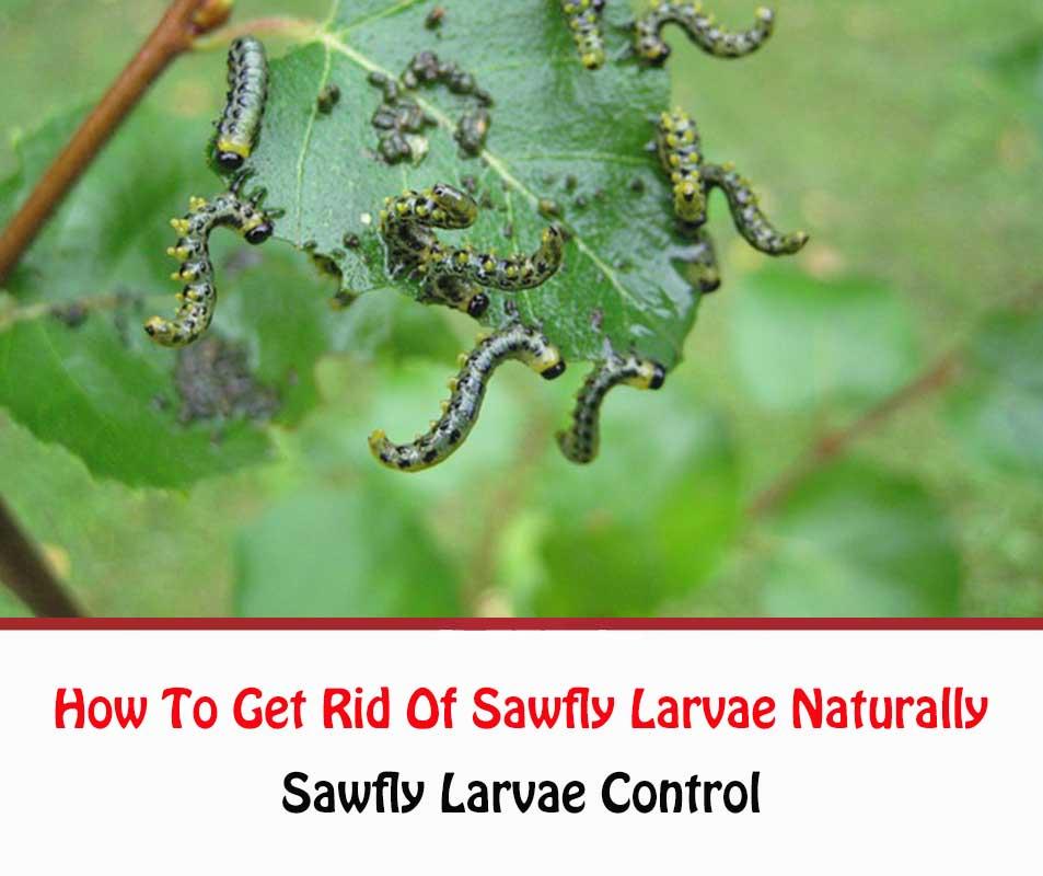 Sawfly Larvae Control