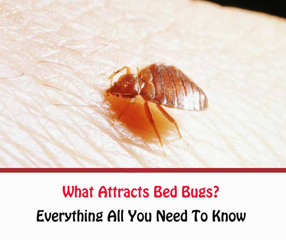 What Attracts Bed Bugs?