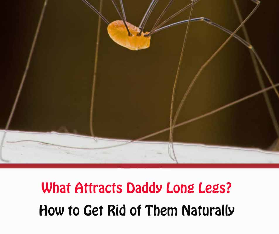 What Attracts Daddy Long Legs?