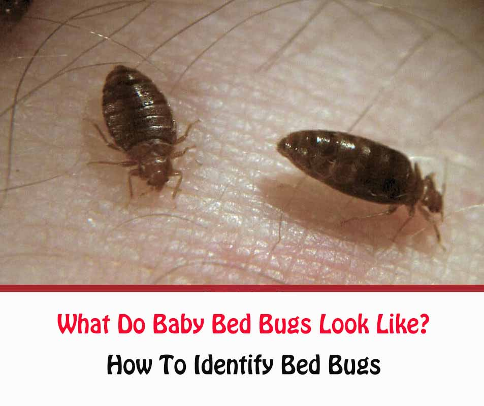 What Do Baby Bed Bugs Look Like?