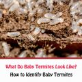 What Do Baby Termites Look Like?